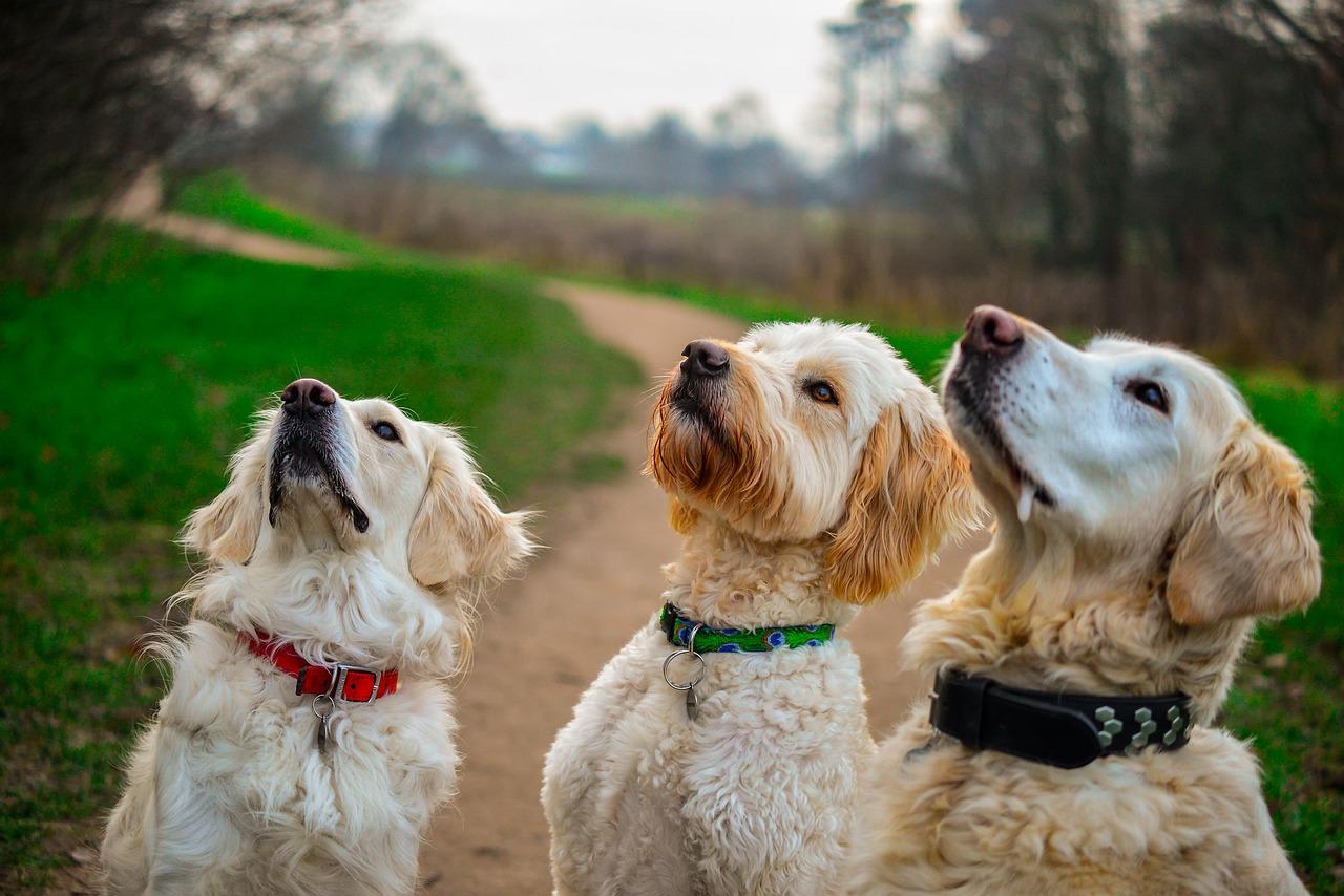 Eins, zwei, viele... Leben & Trainieren mit mehr als einem Hund